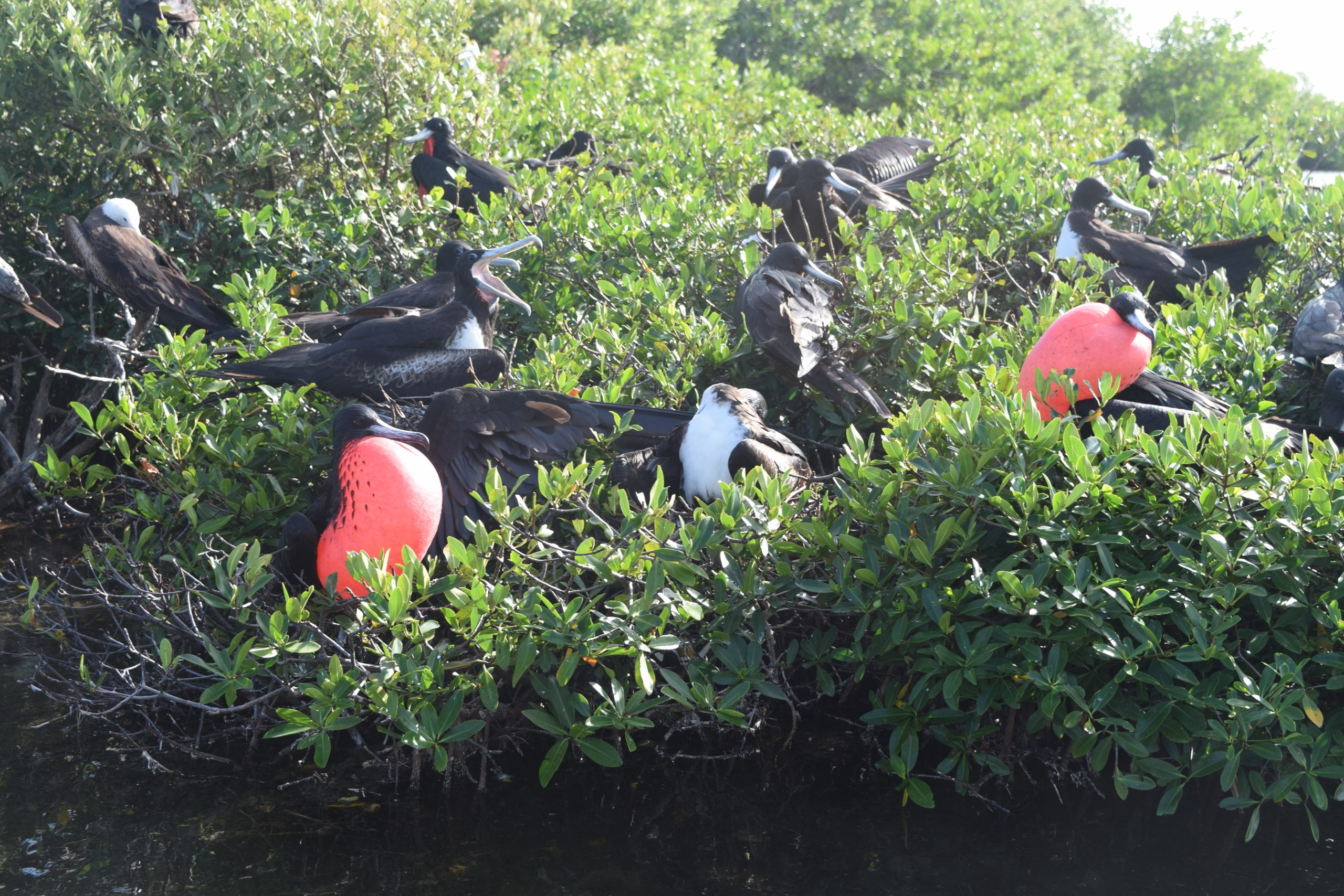 Frigate Bird Sanctuary_ Barbuda