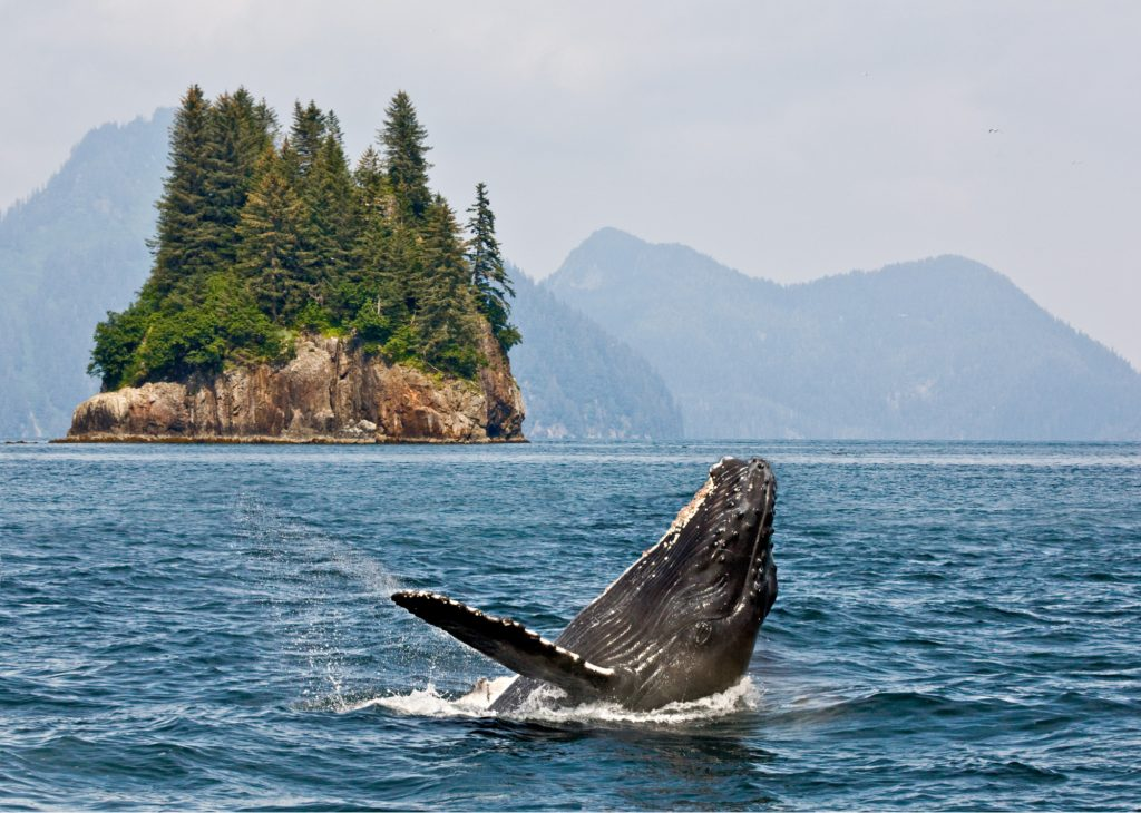 humpback whale breaching near private Alaska yacht charter